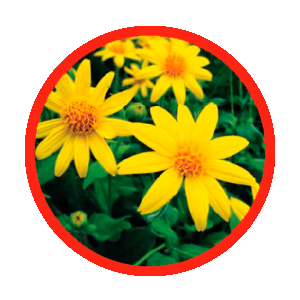 arnica-oxd